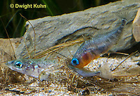 1S57-507z  Threespine Stickleback, gravid female inside male's nest, male prods near her tail fin to stimulate egg laying, Gasterosteus aculeatus