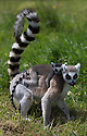 16/05/16<br /> <br /> &quot;I'm not going to let go. No way.&quot;<br /> <br /> Three baby ring-tail lemurs began climbing lessons for the first time today. The four-week-old babies, born days apart from one another, were reluctant to leave their mothers&rsquo; backs to start with but after encouragement from their doting parents they were soon scaling rocks and trees in their enclosure. One of the youngsters even swung from a branch one-handed, at Peak Wildlife Park in the Staffordshire Peak District. The lesson was brief and the adorable babies soon returned to their mums for snacks and cuddles in the sunshine.<br /> All Rights Reserved F Stop Press Ltd +44 (0)1335 418365