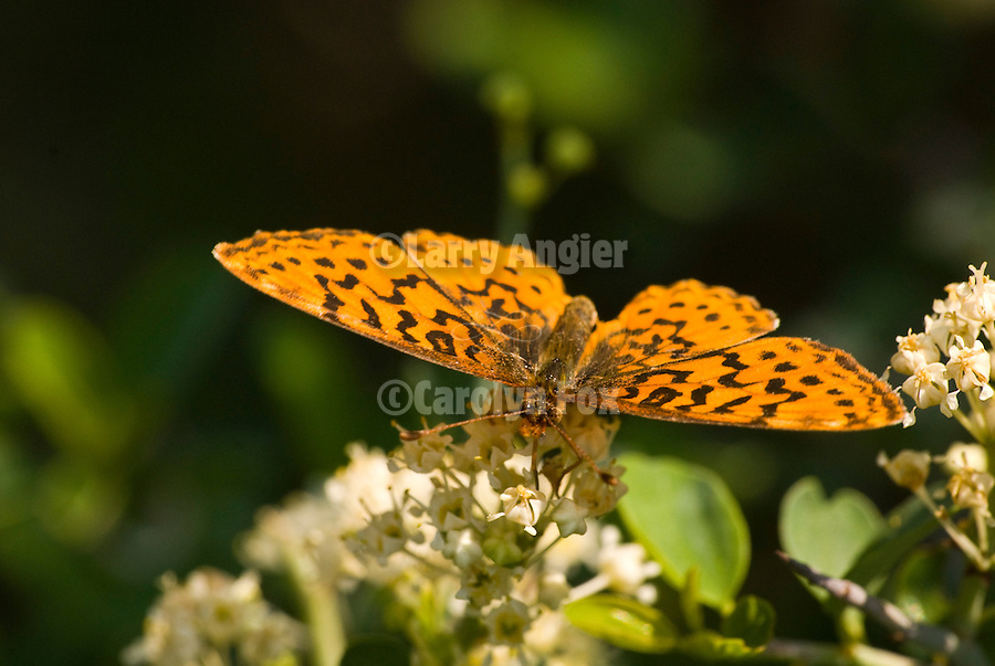 Orange pacific Fritillary butterfly (Boloria epithore) sips nectar from the flowers of deerbrush (Ceanothus integerrimus) near the North Fork of the Mokelumne River Canyon, in the El Dorado National Forest, Amador Co., Calif.