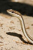 Portrait of a madagascar snake on the beach.