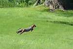 A Grey Fox leaps across a lawn to escape the daylight.