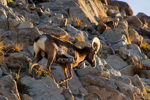 Desert Bighorn Sheep (Ovis canadensis nelsoni