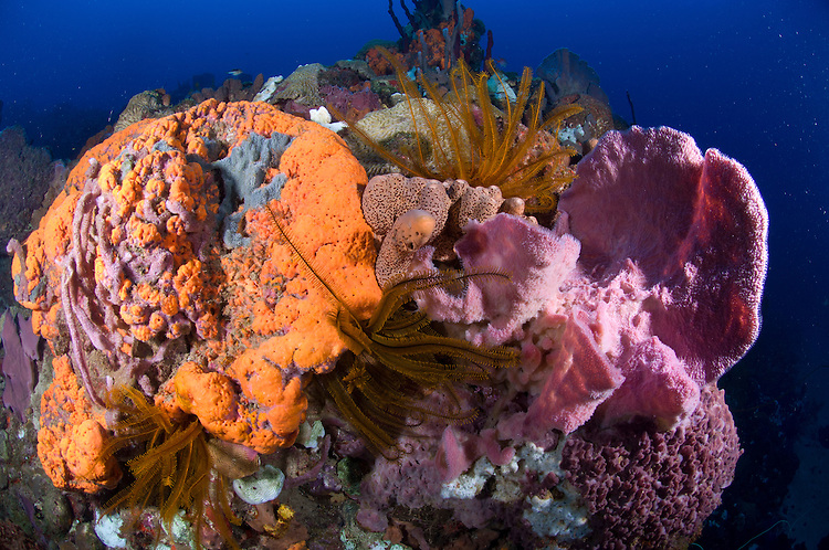 Crinoids, corals and sponges adorn a vibrant Dominican reef