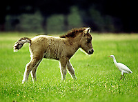 Curious Miniature Horse foal with cattle egret in open field..