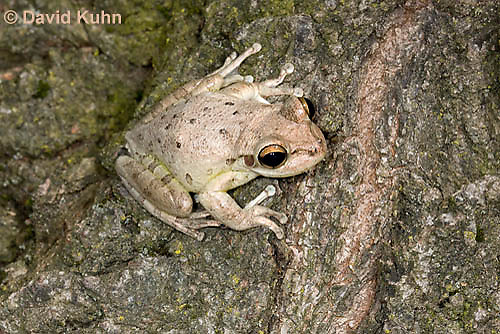 0201-0910  Cuban Treefrog (Cuban Tree Frog), Osteopilus septentrionalis  © David Kuhn/Dwight Kuhn Photography.
