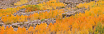 A photo of yellow and orange aspen trees in the Sierra Mountains, Ca.
