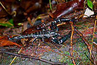 The Asian Forest Scorpion (Heterometrus longimanus) are large black scorpions native to southern asia. It is often confused with a closely related species known as the Malaysian Forest Scorpion (Heterometrus spinifer), and both species are collectively referred to as Asian forest scorpions in the pet trade.