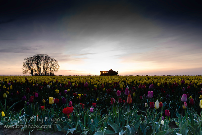 Dawn at Wooden Shoe Tulip Farm, Oregon