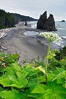 Cow parsnip overlooking Mora Beach, Olympic National Park, Olympic Peninsula, Clallam County, Washington, USA