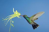 Broad-billed Hummingbird, Cynanthus latirostris, male in flight feeding on longspur columbine(Aquilegia longissima), Madera Canyon, Arizona, USA