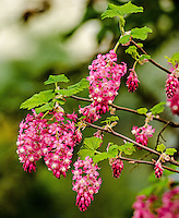Red-flowering Currant, Seattle, Washington