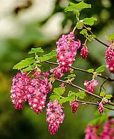Red-flowering Currant, Seattle, Washington