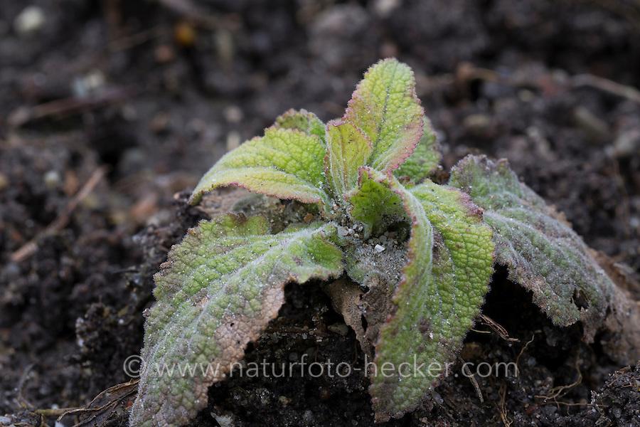 Roter Fingerhut, Blatt, Blätter, Blattrosette, Digitalis purpurea, Foxglove, Fox-glove
