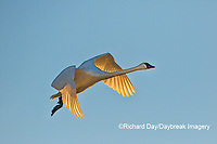 00758-01712 Trumpeter Swan (Cygnus buccinator) in flight Riverlands Migratory Bird Sanctuary St. Charles Co., MO