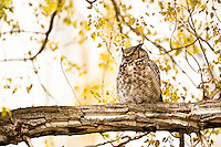 Great Horned Owl, Oregon