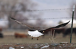 A bald eagle flies off his perch on a Minden, Nev. ranch on Sunday, March 13, 2011..Photo by Cathleen Allison