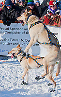 Iditarod sled dogs jumping to get on the trail at the Restart of Iditarod 2012, Willow, Alaska, March 4, 2012