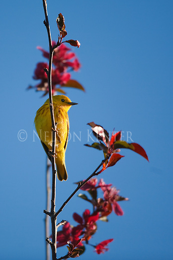 Yellow Warbler male in a purple leaved  tree