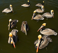 A group of pelicans swim in Amelia Island, FL