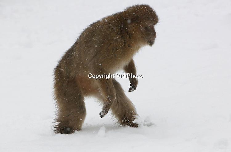 Foto: VidiPhoto..RHENEN - Sneeuwplezier voor de dieren van Ouwehands Dierenpark vrijdag. De Siberische tijgers en de ijsberen voelden zich prima in hun element. De roze pelikanen probeerden met het slaan van de vleugels zichzelf wat op te warmen en de berberapen probeerden hun verblijf in de sneeuw zo kort mogelijk te houden. Voor de ijsberen was er een extra winterverrassing. Zij mochten de sneeuwballen van de verzorgers proberen te vangen.