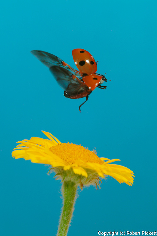7 Spot Ladybird, coccinella septempunctata, adult in flight, taking off from yellow daisy flower, flying, red wing case, legs, seven, high speed photographic flash technique.United Kingdom....