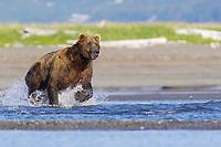 A large male named Yellow Tag #132 hunts. Kodiak grizzly bear (Ursus arctos middendorffi), Hallo Bay