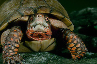 3 toed box turtle, Terrapene Carolina triongois, close up with expressive face, Midwest USA. Note- 3-toed box turtle has 5 toes on front foot and 3 on the back. (Gak!)