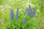 Lupin Flowers, Lupinus polyphyllus, Kangasala, Finland, lupines, purple and pink colours,