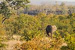 African Elephant (Loxodonta africana) bull in Mopane (Colophospermum mopane) woodland, Kruger National Park, South Africa