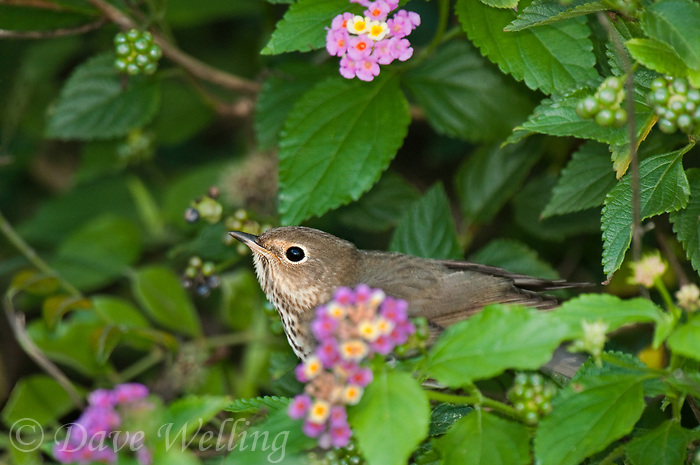 582030012 a wild swainsons thrush catharus ustulatus  perches among flowering texas lantana plants on south padre island texas united states