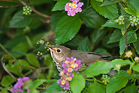 582030012 a wild swainsons thrush catharus ustulatus  perches among flowering texas lantana plants on south padre island texas united states