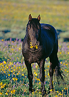 Wild Horse eating flowers