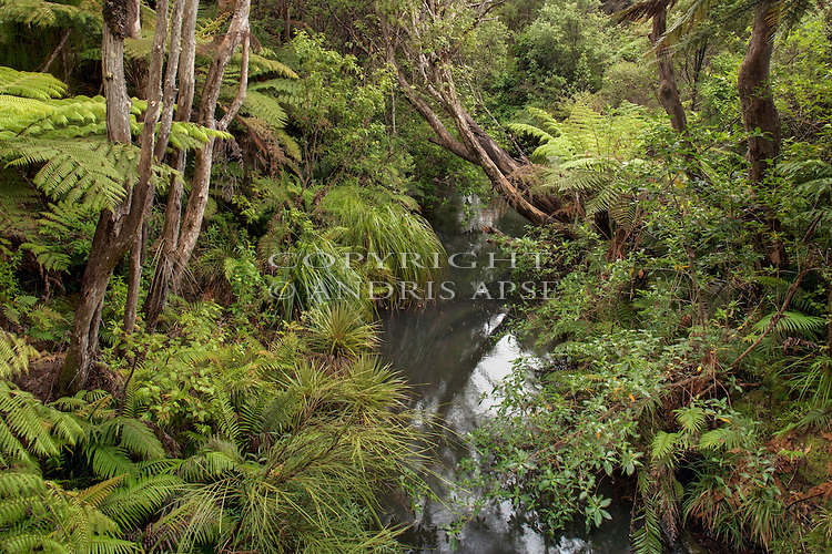 Forest interior and river in Waitakere Forest. Auckland Region. New Zealand.
