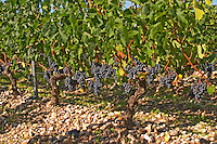 A vine with ripe Merlot grape bunches - Chateau Belgrave, Haut-Medoc, Grand Crus Classe 1855