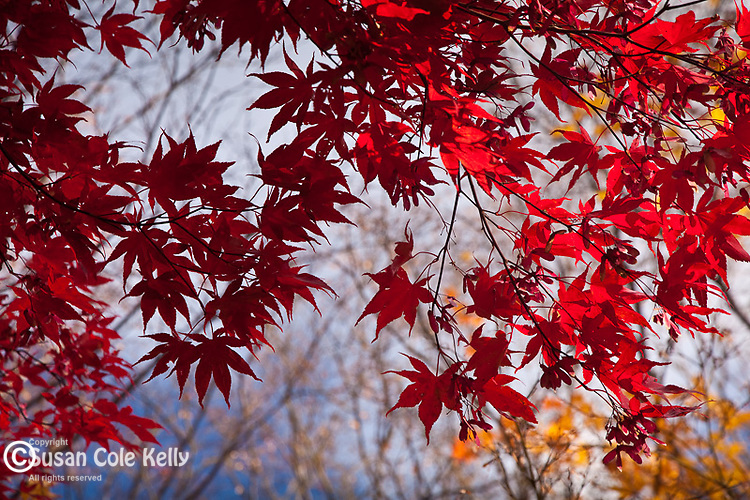 Japanese maples in the Arnold Arboretum, Boston, MA