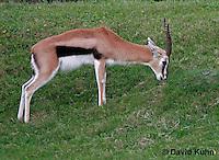 0213-08yy  Thomson's Gazelle, Gazella thomsoni © David Kuhn/Dwight Kuhn Photography