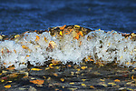 Fallen yellow Aspen Leaves float in the surf of a lake in Canada's Prince Albert Provincial Park.