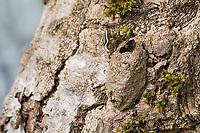 Großer Gabelschwanz, Grosser Gabelschwanz, verlassener Kokon an Baumstamm nach dem Schlupf des Falters aus der Puppe, Puppenkokon, Cerura vinula, Dicranura vinula, puss moth, pupa, cocoon, La Queue fourchue, Vinule, Grande harpie, Zahnspinner, Notodontidae, prominents