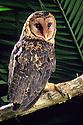 Dark or Ochre phase of Masked Owl (Tyto novaehollandiae race castanops) side view