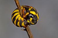 Honigwespe, in zusammengerollter Schutzstellung, Celonites abbreviatus, Honigwespen, Masarinae