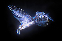 flying fish 7 inches, Exocoetidae, Kona, Big Island, Hawaii, USA, Pacific Ocean