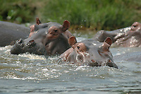 Hippopottamus living in the Victoria Nile in Murcheson Falls National Park in northwestern Uganda. (Rick D'Elia)