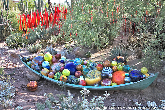 Glass art by Dale Chihuly takes on a surreal aspect when displayed with  cacti and other desert plants at the Desert Botanic Gardenin Phoneix.