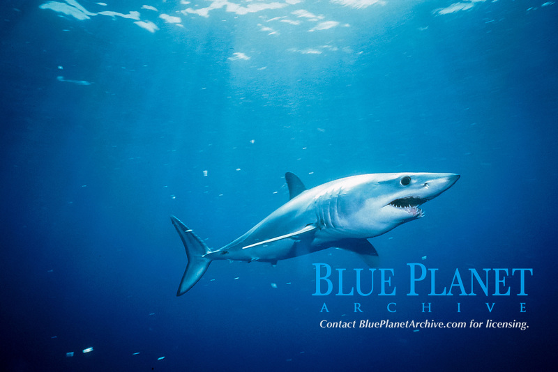 shortfin mako shark, Isurus oxyrinchus, California, USA, East Pacific Ocean