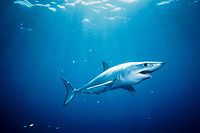 shortfin mako shark, Isurus oxyrinchus, California, USA, East Pacific Ocean
