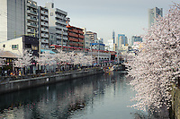 Cherry blossom viewing, Yokohama, Japan, March 26, 2013.