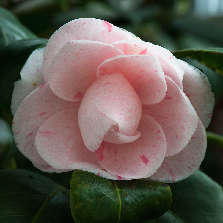 Camellia japonica 'Gray's Invincible'. Raised in 1824 by Mr Press, gardener for Edward Gray, a London linen draper. It was a cross of 'Semi-duplex' (from China in 1808) and 'Alba Simplex' (a seedling of 'Variegata').  (From catalogue, Camellias in the Conservatory Festival 2011, Chiswick House and Gardens).