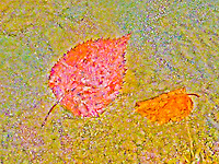 Aspen leaf, in Fall colors, trapped in ice.