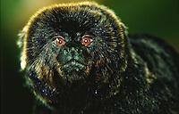 (Callimico goeldi), Macaco-de-goeldi, goeldi's monkey, Amazon rainforest, Brazil.