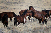 Wild Horse Fight, McCullough Peaks Range, Cody, Wyoming